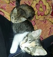 Dificultad para defecar en gatos, Ojos azules