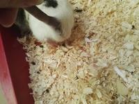 Hinchazón testicular en roedores, Rata dumbo