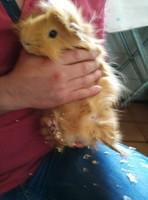 Dificultad para defecar en roedores, Cobaya