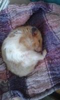 Respira con dificultad en roedores, Hámster sirio o dorado