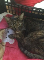 Micheta, mi gato común europeo hembra, tiene vómito, dificultad al tragar, y mal apetito