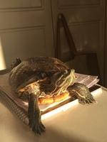 Vómito en reptiles, Tortuga de orejas rojas