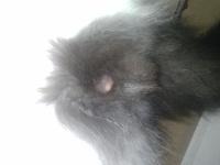 Black, mi gato desconocida macho, tiene hinchazón testicular y secreción en pene/vagina