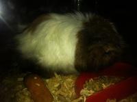 Pancho, mi roedor cobaya peruano macho, tiene dolor al contacto