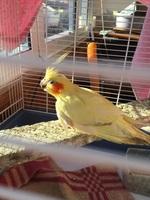 Respiración ruidosa en aves, Cacatúa ninfa