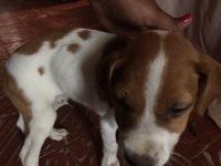 Dificultad al masticar en perros, Pit bull