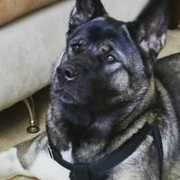 Dificultad para orinar en perros, Akita americano