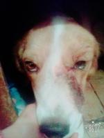 Sangrado de nariz en perros, Chow chow