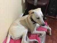 Athenea, mi perro cruce de labrador hembra, tiene incontinencia