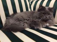 Sangre en las heces en gatos, Persa tradicional