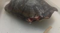 Mordeduras en reptiles, Tortuga