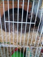 Dolor al contacto en roedores, Degú