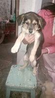 Dificultad para orinar en perros, Labrador