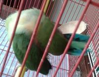 Choclo, mi ave agapornis roseicollis macho, tiene picor y rascarse