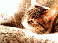 Orina demasiado frecuentemente en gatos, Común europeo