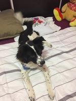 Dani, mi perro cruce de border collie macho, tiene dificultad al tragar