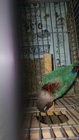 Mordeduras en aves, Agapornis personatus