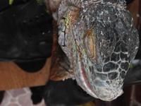 Feli, mi reptil iguana verde macho, tiene dolor al contacto y heridas