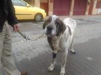 Dificultad para orinar en perros, Mastín español