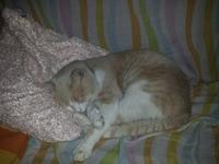 Tomy, mi gato europeo de pelo corto macho, tiene vómito y orina muy poco