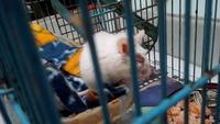 Secreción ocular en roedores, Ratón común