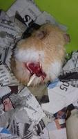 Mordeduras en roedores, Hámster sirio o dorado