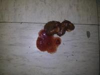 Frijol, mi perro bulldog francés macho, tiene dificultad para defecar y sangre en las heces