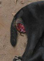 Sangrado en vagina en perros, Labrador