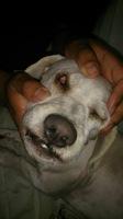 Sangrado de nariz en perros, Bichon maltés