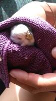 Gustava, mi ave periquito azul cielo hembra, tiene picor y rascarse