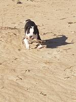 Rayder, mi perro staffordshire terrier americano macho, tiene dificultad al caminar o levantarse