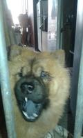 Nubes o película transparente blanca en los ojos en perros, Chow chow