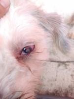 Nubes o película transparente blanca en los ojos en perros, Desconocida