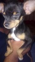 Nubes o película transparente blanca en los ojos en perros, Chihuahueño