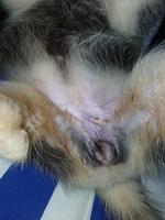 Violeta, mi perro husky siberiano hembra, tiene incontinencia