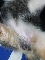 Incontinencia en perros, Husky siberiano
