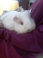 Respira con dificultad en roedores, Cobaya