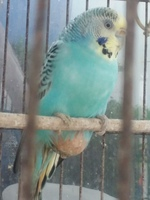 Perry, mi ave cruce macho, tiene dificultad para defecar