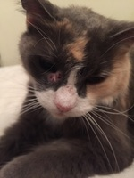 Secreción ocular en gatos, Alemán de pelo largo