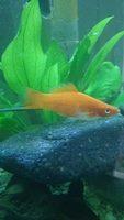 Pato, mi pez desconocida macho, tiene pérdida de piel
