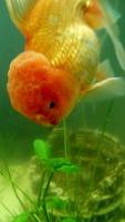 Nala, mi pez cabeza de leon hembra, tiene pérdida de piel