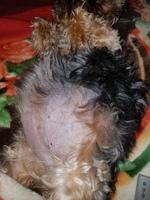 Dificultad para orinar en perros, Yorkshire terrier