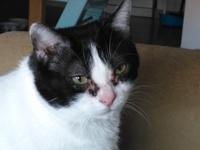 Nubes o película transparente blanca en los ojos en gatos, Europeo de pelo corto