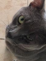 Deep, mi gato cruce de azul ruso macho, tiene pérdida de pelo y secreción ocular