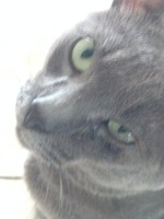 Secreción ocular en gatos, Azul ruso
