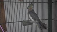 Lola, mi ave cacatúa ninfa hembra, tiene temblores