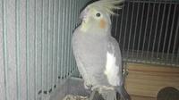 Temblores en aves, Cacatúa ninfa