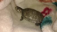 Estreñimiento en reptiles, Tortuga