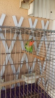 Picor y rascarse en aves, Agapornis fischeri
