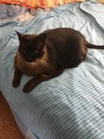 Dificultad para defecar en gatos, Siamés